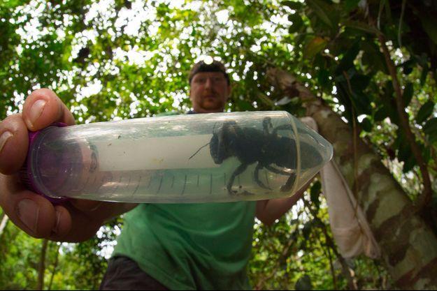 L'entomologiste Eli Wyman tient dans une fiole une abeille de Wallace.