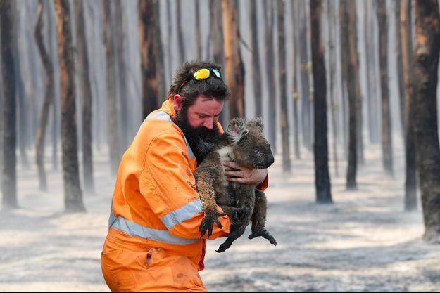 Un koala secouru sur l'Île Kangourou.