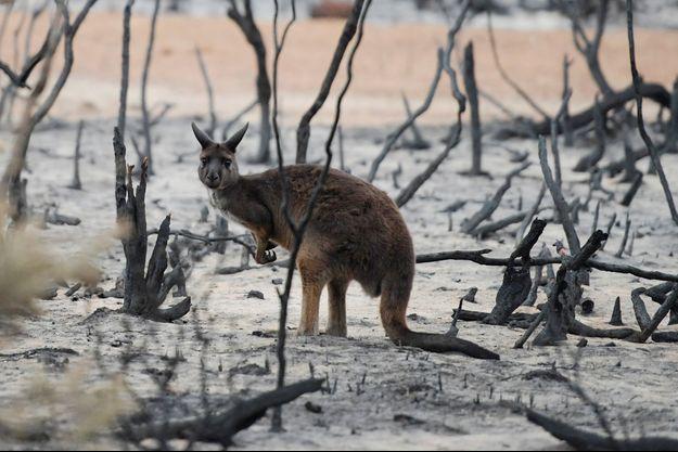 Un wallaby dans un paysage dévasté par les flammes.