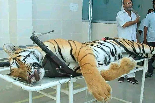 La tigresse tuée vendredi dans l'État du Maharashtra (ouest) au terme de plusieurs mois de traque.