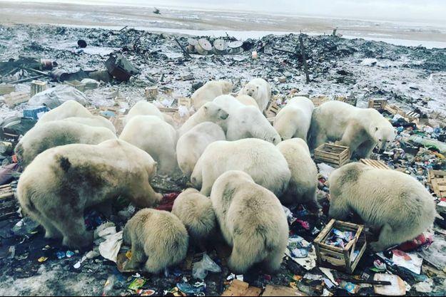 Des ours polaires dans une décharge de Nouvelle-Zemble.