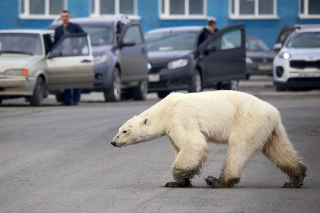 Ours polaire égaré en Russie.