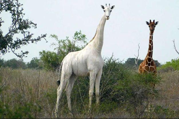 Une des rares girafes blanches immortalisées en photo, en 2017.