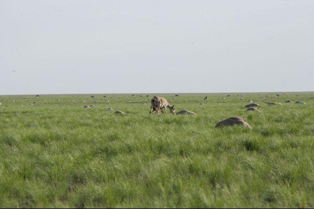 Les antilopes de saïgas mortes sur le sol kazakh en 2015
