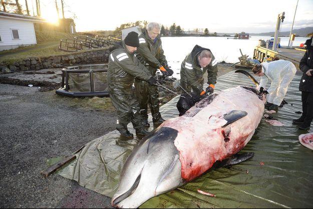 La baleine cuvier dans laquelle 30 sacs plastique ont été retrouvés.