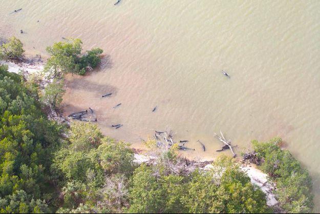 Les fausses orques échouées près de la plage du parc national des Everglades