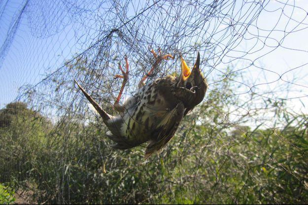 Un oiseau piégé dans les mailles d'un filet.