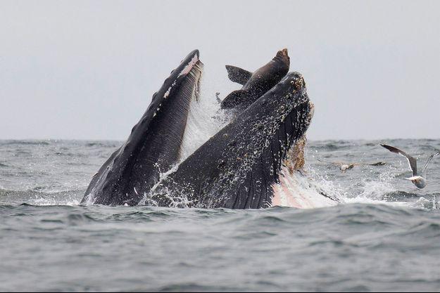 Un photographe animalier a réussi à prendre l'incroyable image d'un lion de mer tombant dans la gueule d'une baleine.