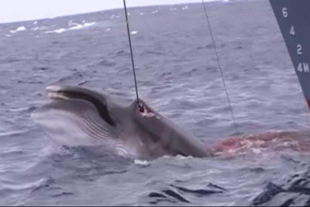 Une baleine chassée au harpon.
