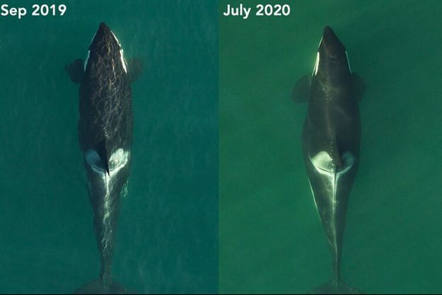 Une orque en gestation.