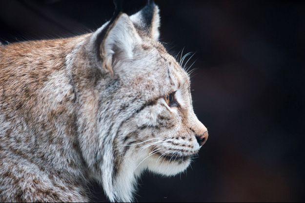 Un lynx en Russie.