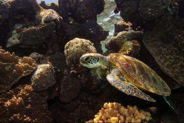 Une tortue verte, dans la Grande barrière de corail.