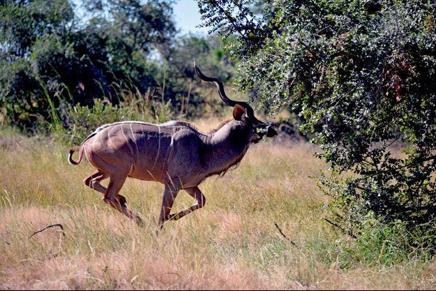Un kudu en Namibie en avril 2017.