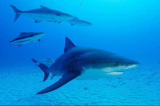 Requins bouledogues.