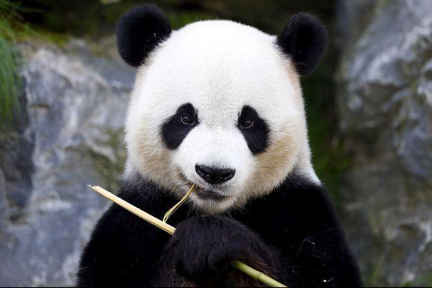 Le panda Xing Hui au parc zoologique de Brugelette, en Belgique.