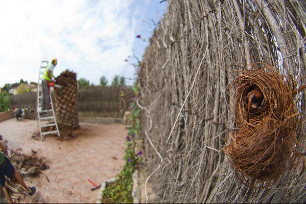 Le charançon rouge s'attaque au coeur des palmiers.