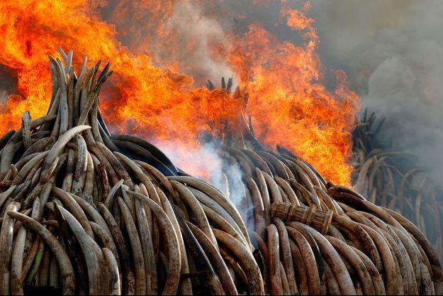 Fin avril, une centaine de tonnes d'ivoire d'éléphants est partie en fumée dans le parc national de Nairobi, au Kenya