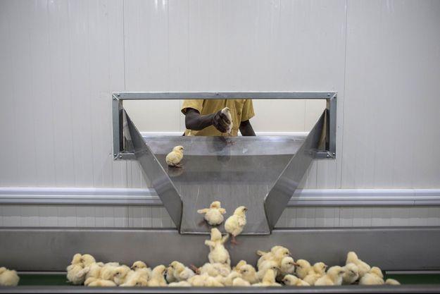 Dans un centre d'élevage de poussins.