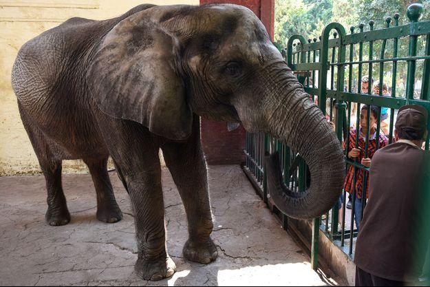 Naïma était le dernier spécimen d'éléphant d'Afrique du zoo de Guizeh.