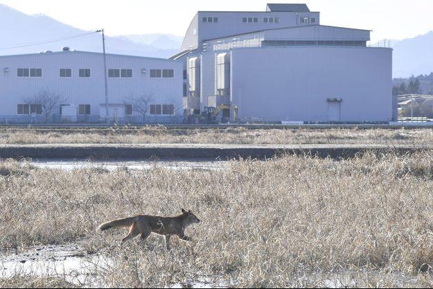 Un renard à Futaba Town, dans la préfecture de Fukushima.