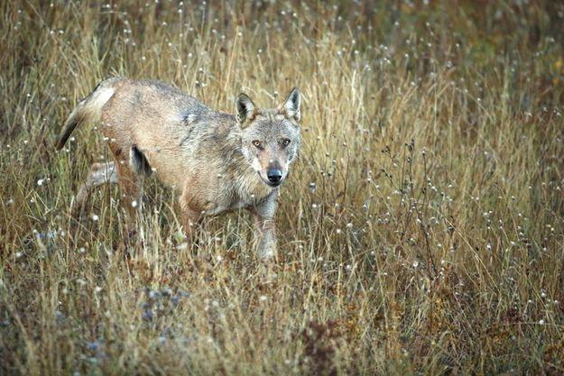 Fabien Bruggmann a passé 14 mois à photographier les loups dans le parc national des Abruzzes.