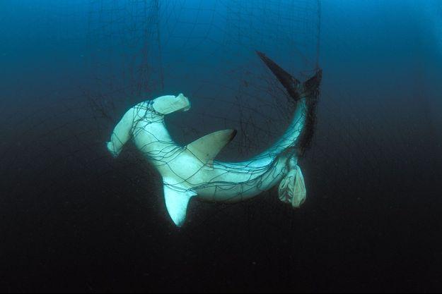Un requin marteau pris au piège dans un filet de pêche, dans le golfe de Californie.