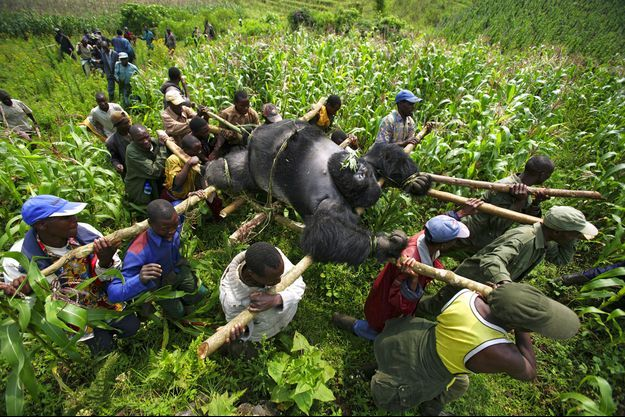 La population des gorilles de l'Est dans le monde a diminué de plus de 70% en 20 ans.