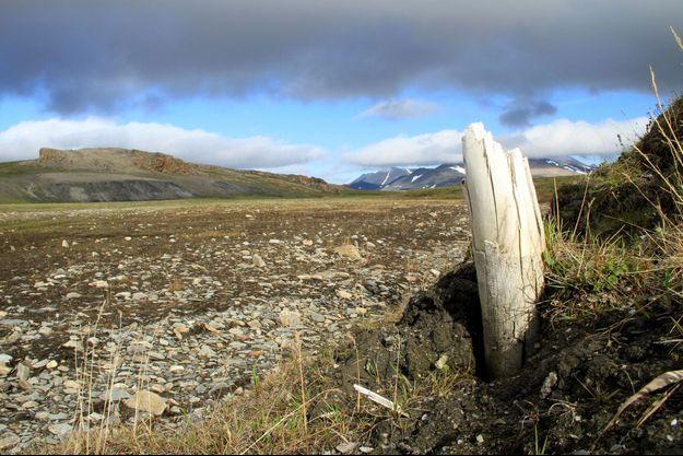 Une défense de mammouth en Sibérie.