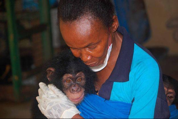 Un chimpanzé recueilli au Tacugama Chimpanzee Sanctuary de Freetown.