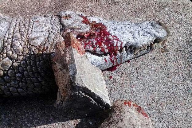 En mars au zoo du Belvédere de Tunis, un crocodile a été tué par des visiteurs qui lui ont jeté des pierres près de l'œil.
