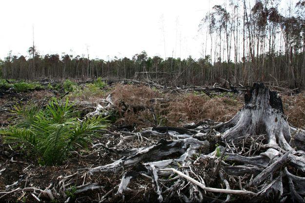 En Indonésie, la forêt est brûlée pour laisser place à l'huile de palme