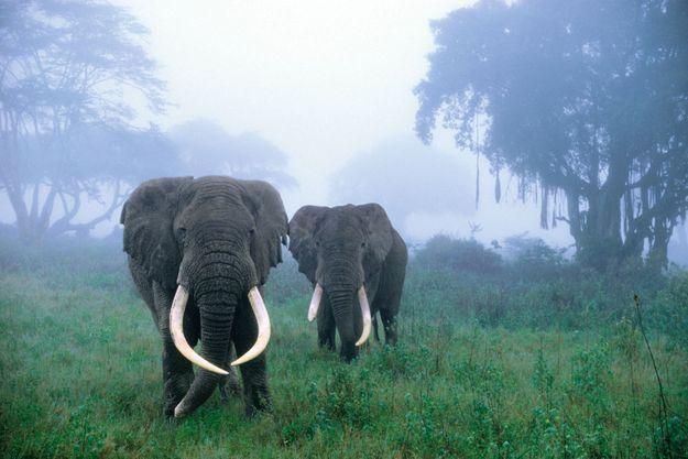 Le monument de la savane incarnait la force tranquille. mais ses défenses en ivoire tellement convoitées sont aussi sa faiblesse. et la pression démographique ne cesse de grignoter son royaume