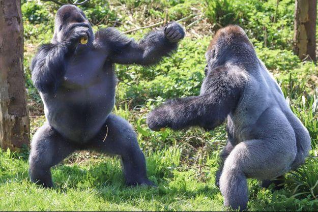 Brève dispute entre deux gorilles de la nourriture au parc de Paignton en Angleterre.