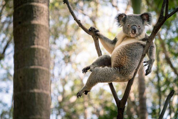 Sur son arbre perché, maître koala peut rester des heures confortablement assis et immobile. Il y a gagné le qualificatif de « paresseux australien ». C'est injuste : à se nourrir de feuilles d'eucalyptus, on manque d'énergie !