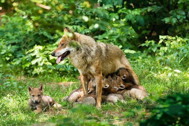Immobile mais vigilante quand elle allaite sa portée de sept petits