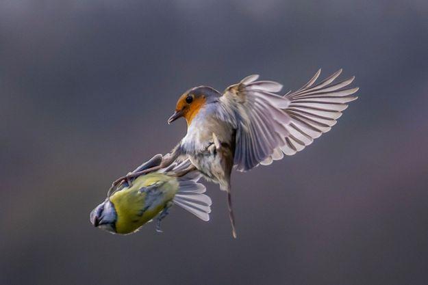 Combat aérien entre une mésange et une rouge-gorge.