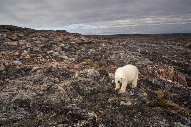 Un ours polaire dans le hameau de Naujaat au Canada.
