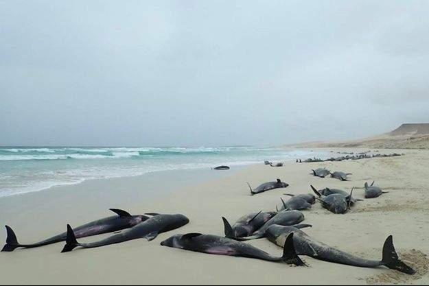 163 dauphins ont été retrouvés morts sur une plage du Cap Vert.