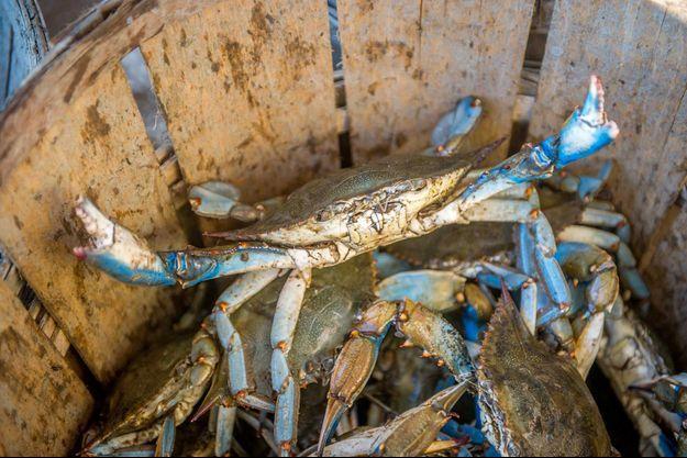Un crabe bleu.