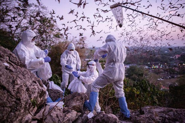 La capture de chauves-souris pour le centre scientifique et médical sur les maladies infectieuses émergentes de l'hôpital thaïlandais Chulalongkorn. Décembre 2020.
