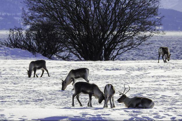 Des rennes en Norvège