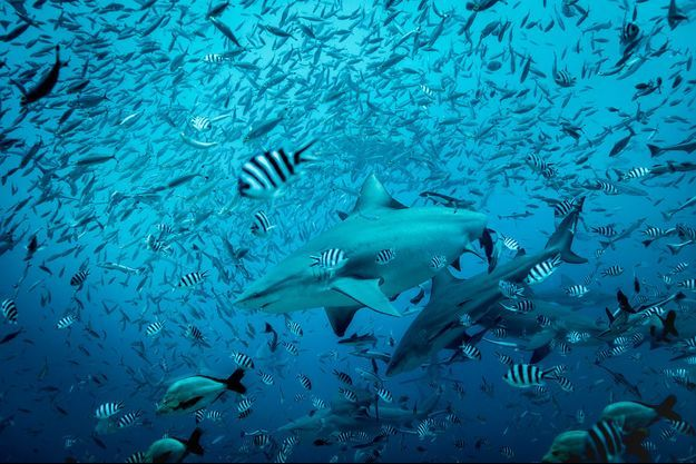 Des requins de récifs.