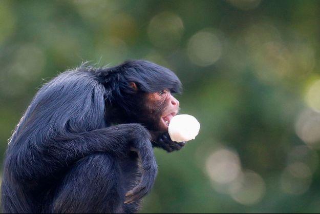 Au Brésil, un singe araignée surpris en plein goûter