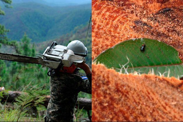 Le charançon du pin a déjà tué 400 000 hectares de pinède.