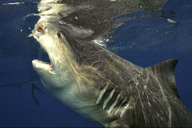 Un requin-bouledogue.