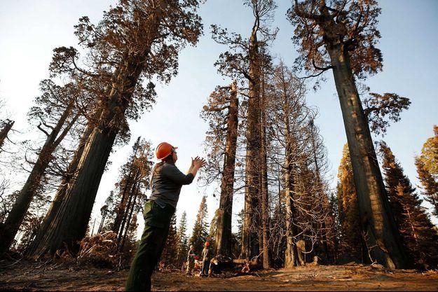 Un sequoia partiellement détruit pas les flammes.
