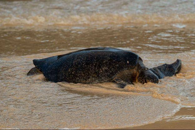Dix-neuf personnes sont décédées après avoir mangé la viande d'une tortue de mer (image d'illustration).
