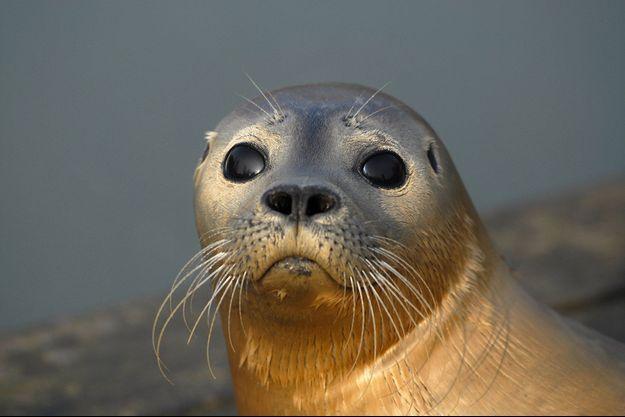 Un phoque veau marin.