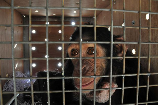 Le chimpanzé Manno