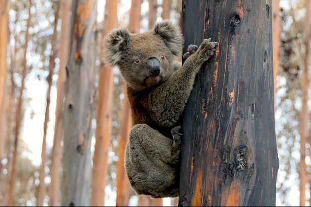 Illustration d'un koala en Australie.